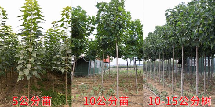 扬州质量小叶楸供应商 服务为先「莱阳市绿森苗木种植供应」