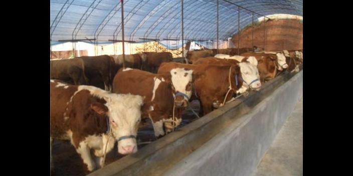 福建高科技饲养牛羊投资多少
