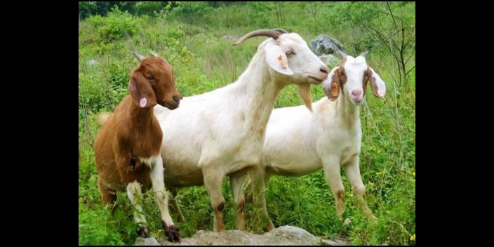 湖南绿色饲养牛羊需要什么资质